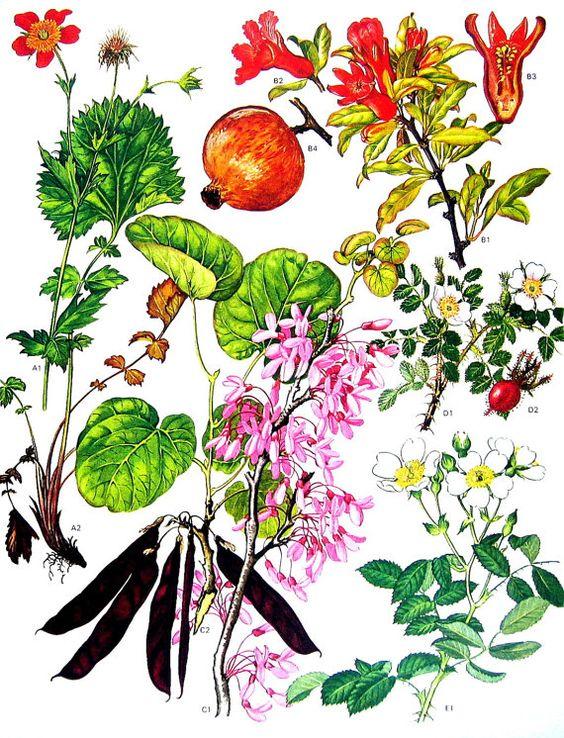 Judas Tree, Pomegranate, Pine Scented Rose, Avens.