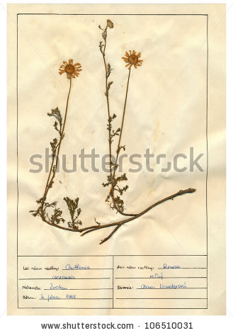 Anthemis Arvensis, Which Is Also Known As Corn Chamomile Or.