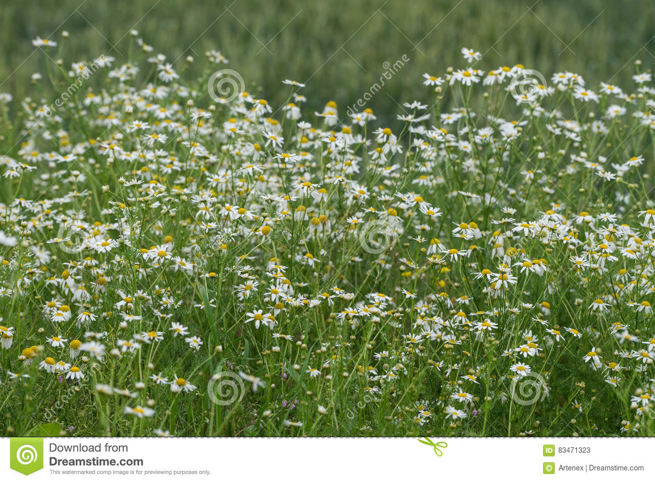Corn Chamomile Blossom. Mayweed Bloom. White Blooming Flowers.