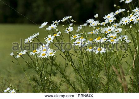 Matricaria Stock Photos & Matricaria Stock Images.