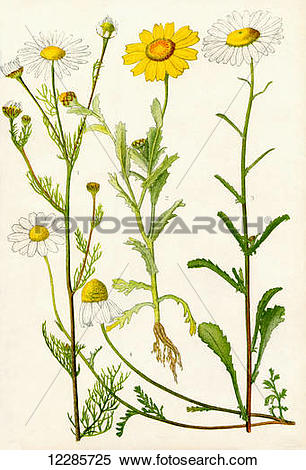 Stock Image of Wildflowers. 1. Scentless Mayweed 2. Corn Marigold.