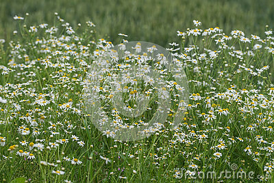 Blooming Wild Chamomile Flower Stock Photo.