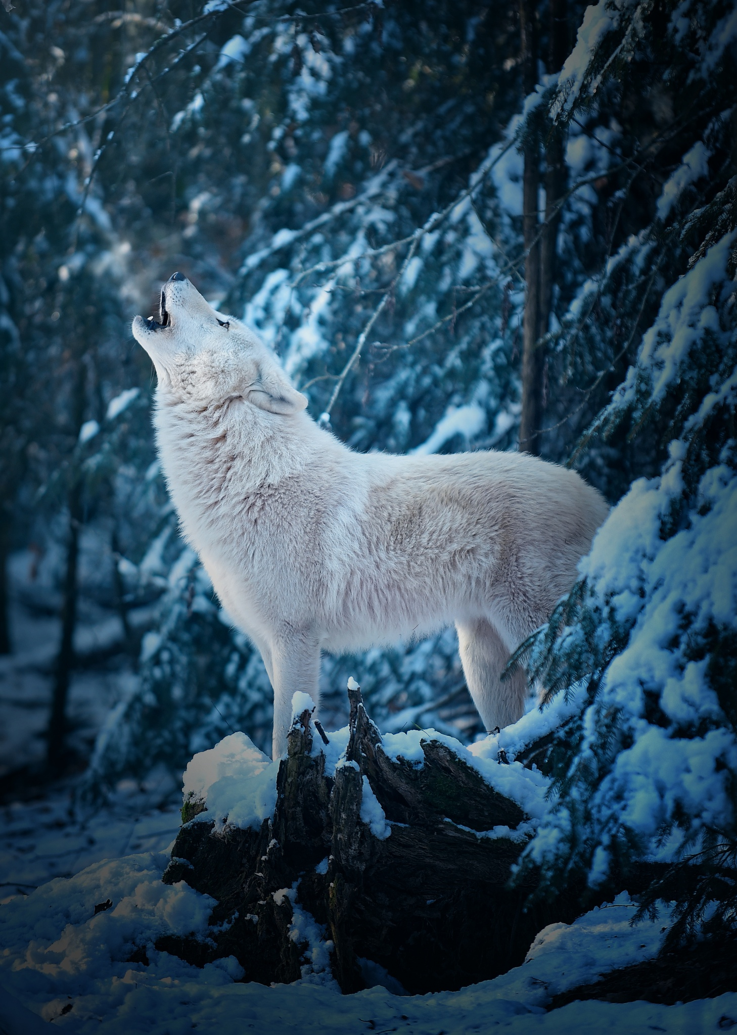 1000+ images about the wolf pack on Pinterest.