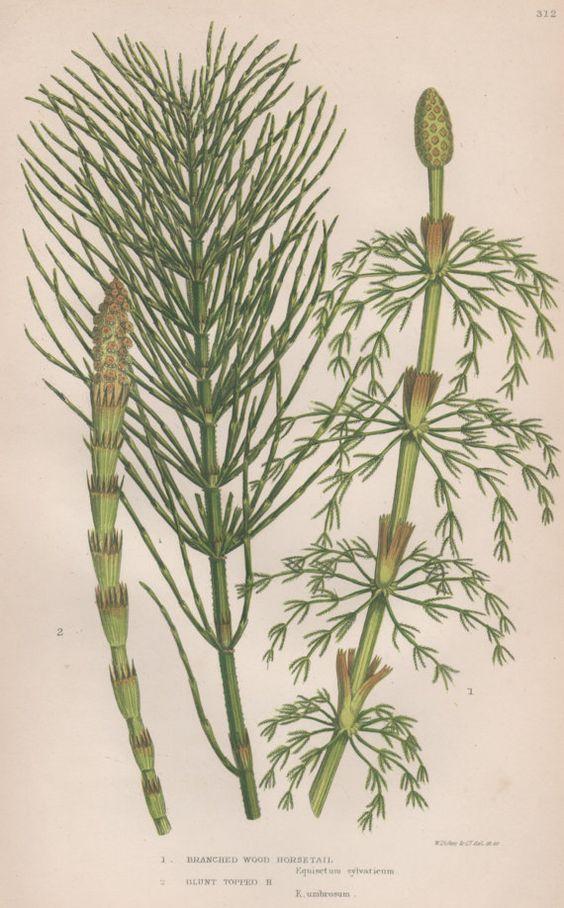 1855 Horsetails, Antique Botanical Print, Vintage Lithograph, Anne.