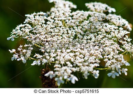 Stock Bilder von Pflanze, blume, kopf, schafgarbe.