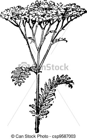 Vectors of Common Yarrow or Achillea millefolium, vintage.