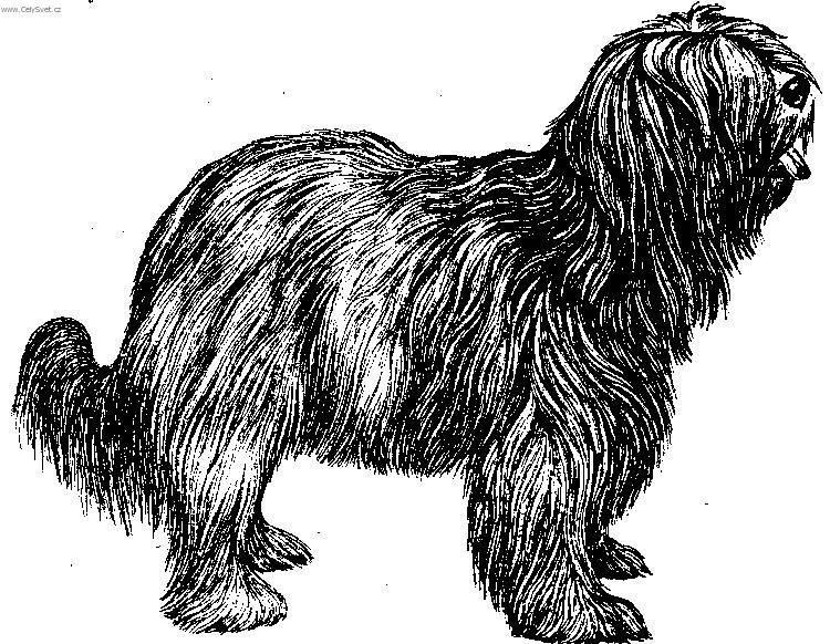 Photo Dutch schapendoes (Dog standard) (Dutch Schapendoes).