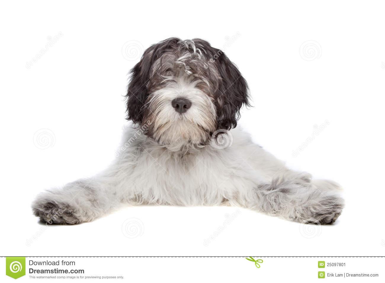 Schapendoes , Dutch Sheepdog Stock Image.