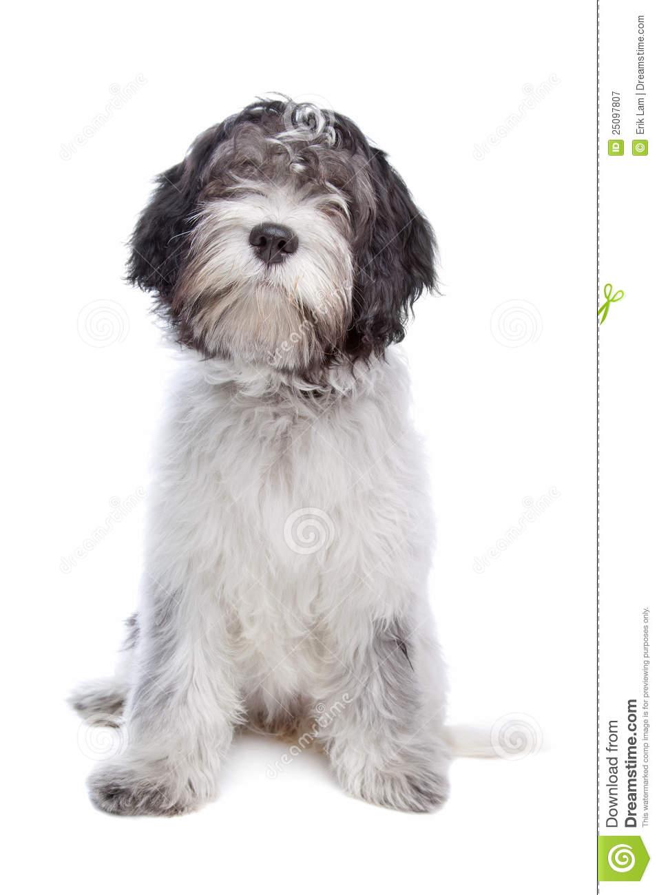 Schapendoes , Dutch Sheepdog Royalty Free Stock Photography.
