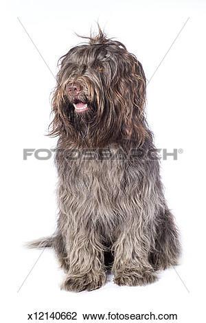 Stock Photo of Schapendoes x12140662.