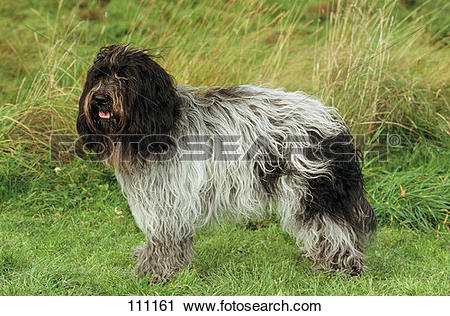 Stock Photography of dog, schapendoes 111161.