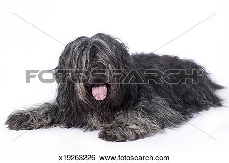 Stock Images of Schapendoes x19263226.