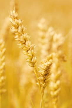 Millet grain free stock photos download (395 Free stock photos.