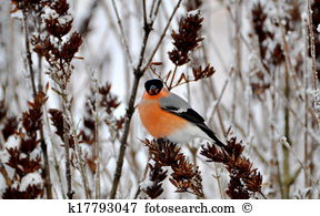 Bullfinch Stock Photo Images. 3,218 bullfinch royalty free.