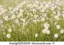 Cottongrass Images and Stock Photos. 505 cottongrass photography.