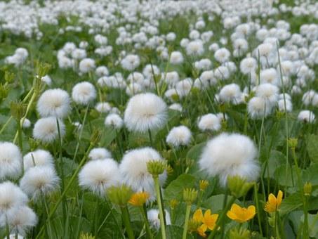 Cotton, Flower.