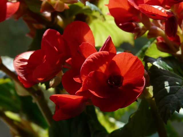 Free pictures BEGONIA.