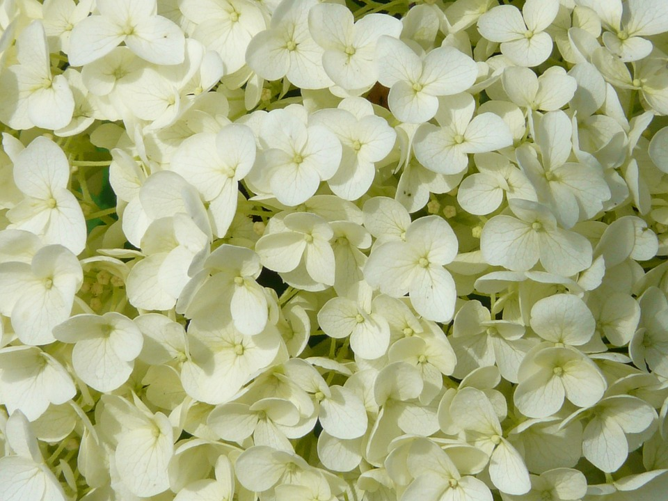 Hydrangea, Flower, Flowers, White.