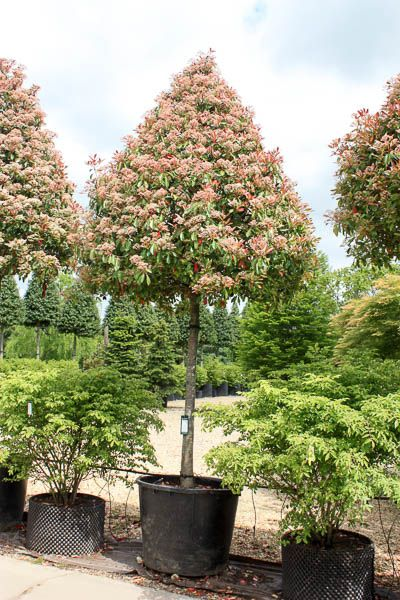 1000+ ideas about Red Robin Tree on Pinterest.