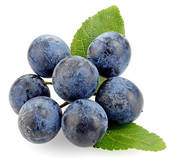 Stock Photo of Sloe Berries u20022532.