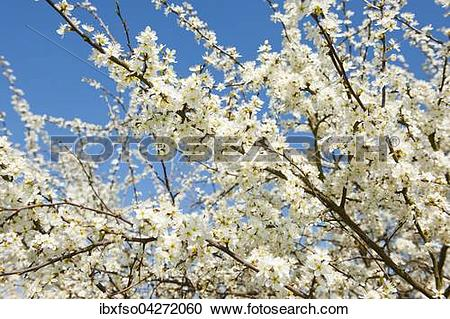 Stock Photography of Schlehe, Schwarzdorn (Prunus spinosa), weisse.