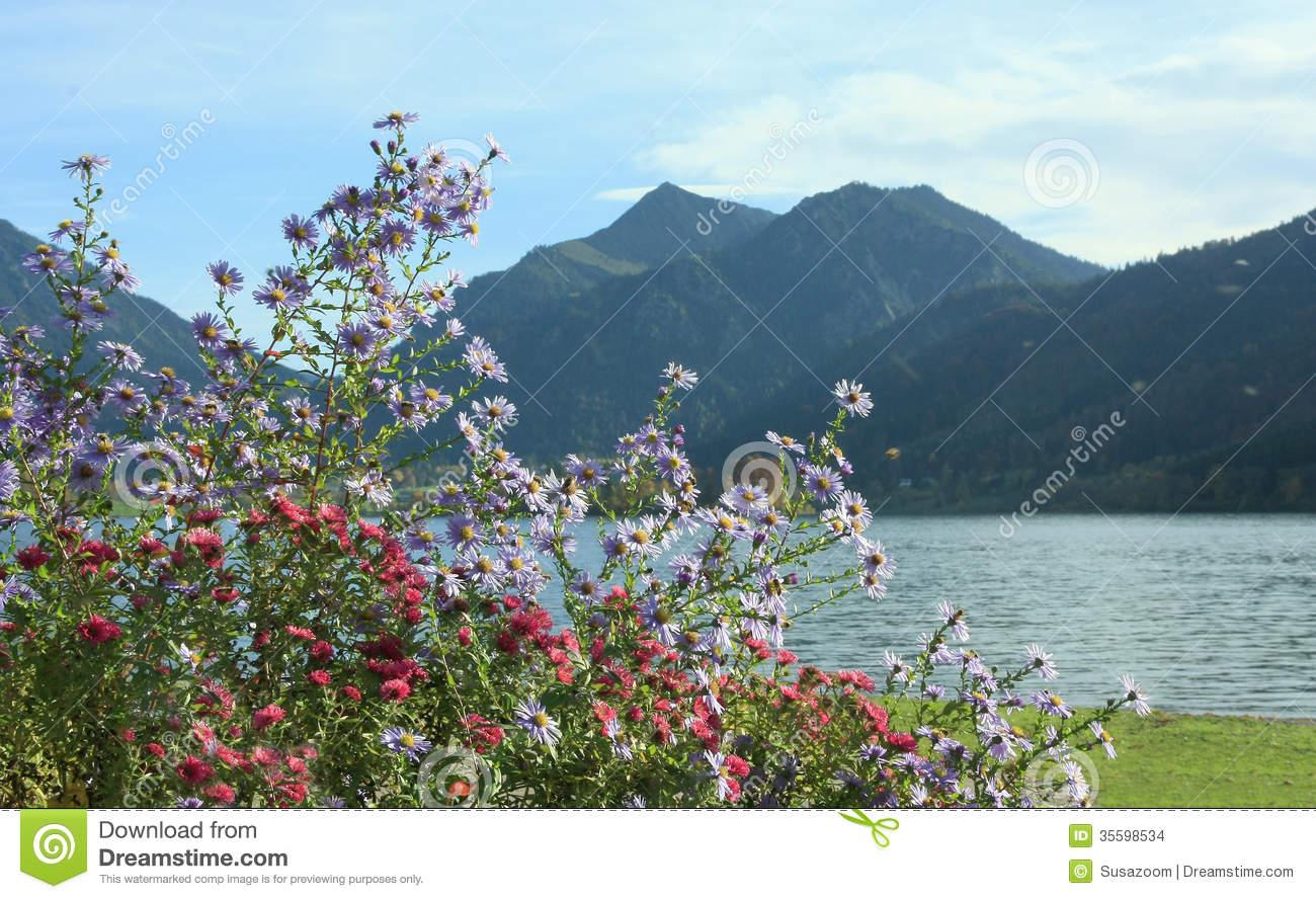 Autumnal Flowerbed With Alpine Aster, Lake Schliersee, Bavaria.