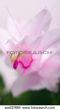 Stock Photo of Christmas Cactus. Schlumbergera bridgessii.