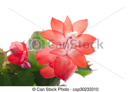 Stock Photography of Christmas Cactus (schlumbergera) isolated on.