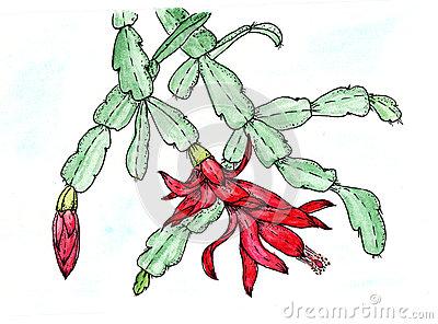 Schlumbergera Flower Chirstmas Cactus Stock Illustrations.