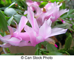Stock Photographs of Christmas cactus. Schlumbergera..