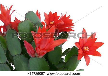 Picture of Christmas cactus. Schlumbergera. k15725097.