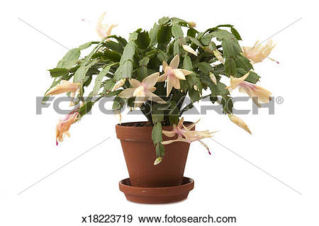 Stock Photograph of Easter cactus (Schlumbergera truncatus.