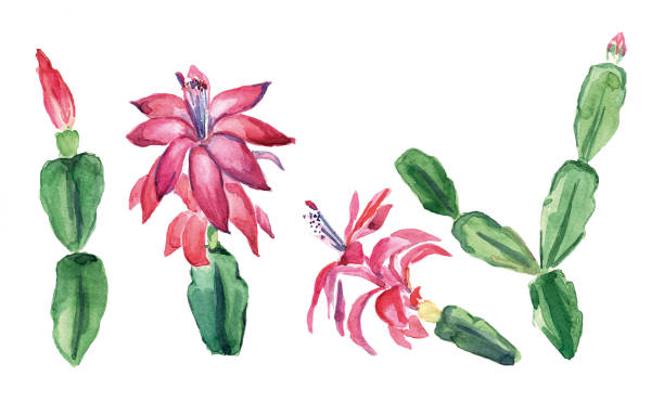Christmas Cactus Drawing Clip Art, Vector Images & Illustrations.