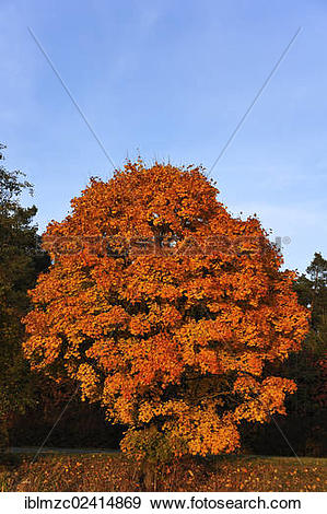 Stock Photograph of Norway maple (Acer platanoides) in golden.