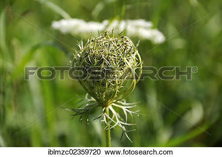 "Stock Photography of ""Curled umbel of a Wild carrot (Daucus carota."
