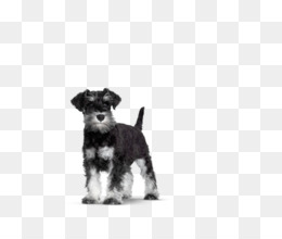Schnoodle PNG and Schnoodle Transparent Clipart Free Download..