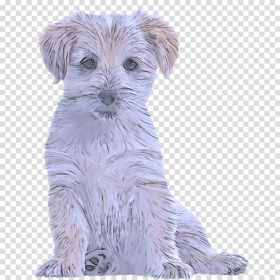 dog dog breed companion dog puppy schnoodle clipart.
