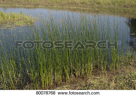 Pictures of DEU, 2011: Common Tule (Schoenoplectus lacustris.