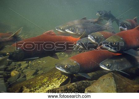 School Salmon Clipart.