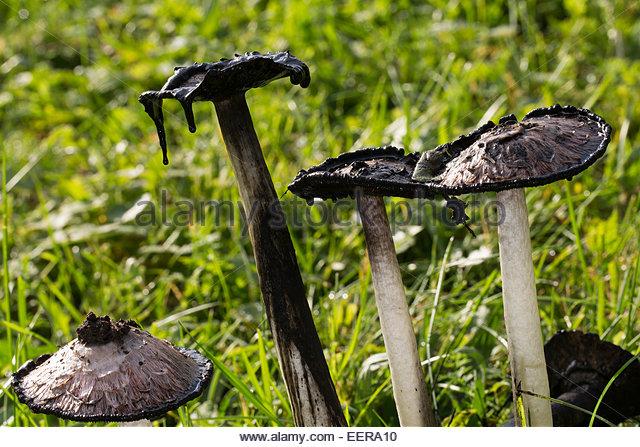 Shaggy Ink Cap Mushrooms Stock Photos & Shaggy Ink Cap Mushrooms.