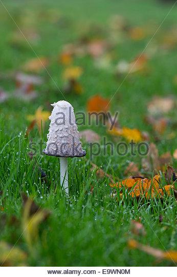 Ink Cap Mushrooms Coprinus Comatus Stock Photos & Ink Cap.