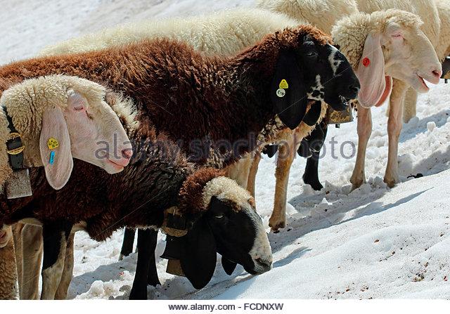 Bergschaf Stock Photos & Bergschaf Stock Images.