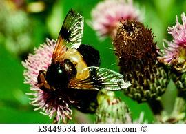 Schwebfliege Stock Photo Images. 3 schwebfliege royalty free.