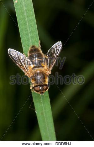 Diptera Stock Photos & Diptera Stock Images.