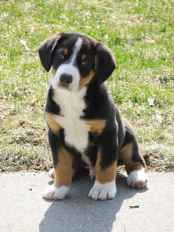 1000+ ideas about Entlebucher Sennenhund on Pinterest.