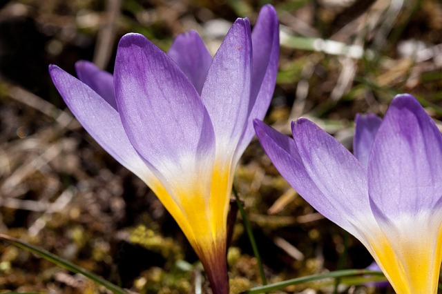 Free photo Spring Flowers Color Crocus Colorful Nature.