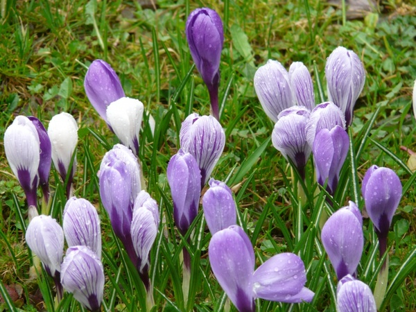 Crocus schwertliliengewaechs flower Free stock photos in JPEG.
