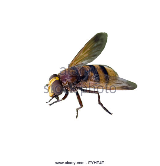 Diptera Cut Out Stock Images & Pictures.
