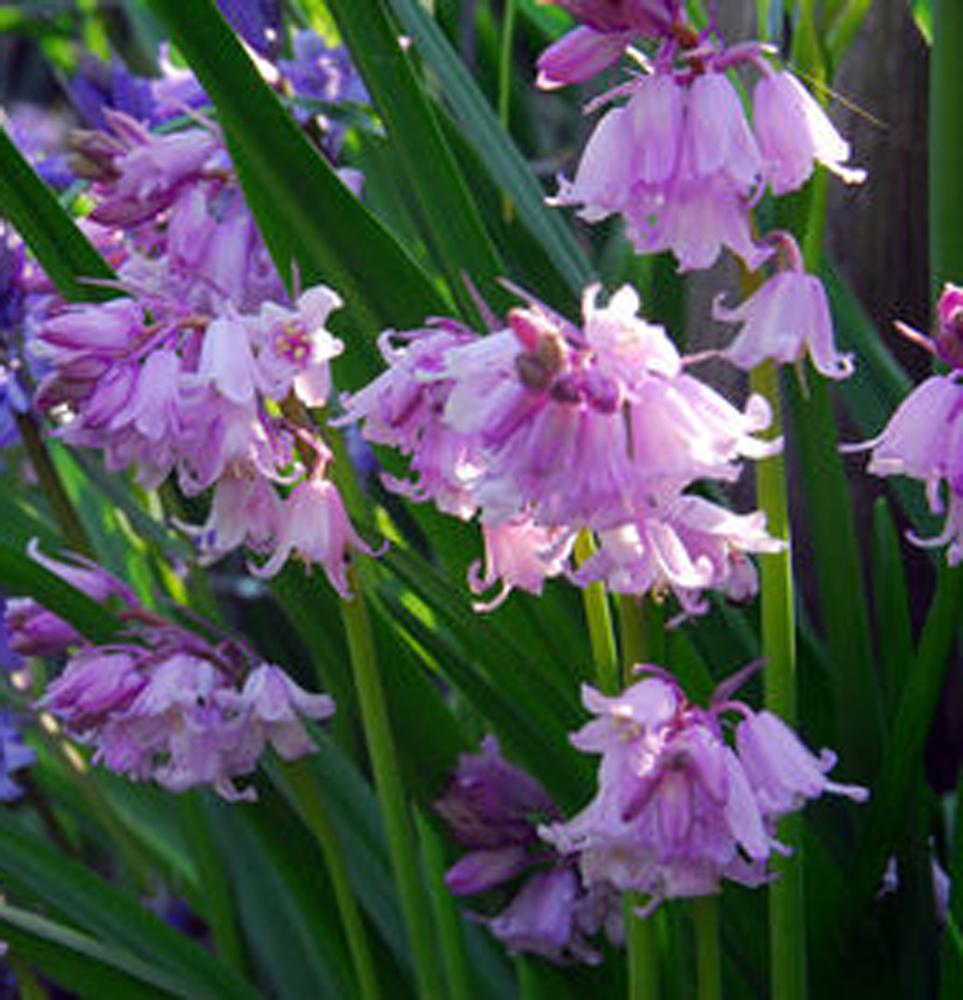 Pinkbells Scilla Campanulata.