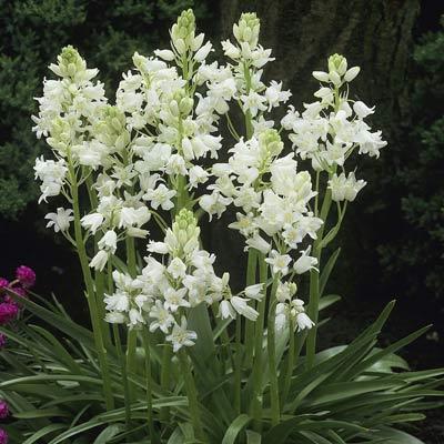 Scilla Campanulata White.